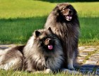 Two Keeshond Dogs