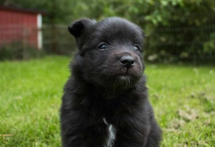 German Spitz Puppy