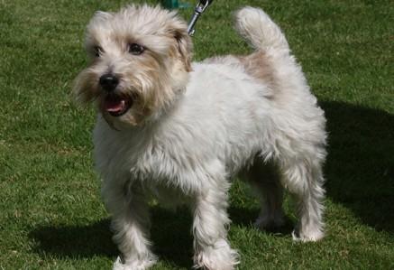 Sporting-Lucas-Terrier.jpg