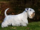 Adult Sealyham Terrier
