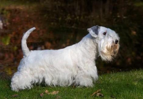 Adult Sealyham Terrier