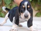 Basset Bleu De Gascogne Puppy