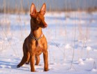 Pharaoh Hound In Snow