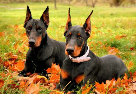 Two Dobermann Dogs