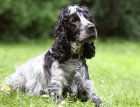 Mature Cocker Spaniel