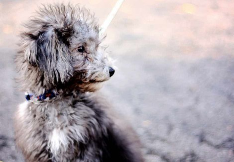 Bedlington Terrier puppy