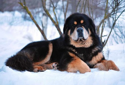 Adult Tibetan Mastiff