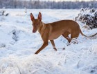 Pharaoh Hound In The Snow