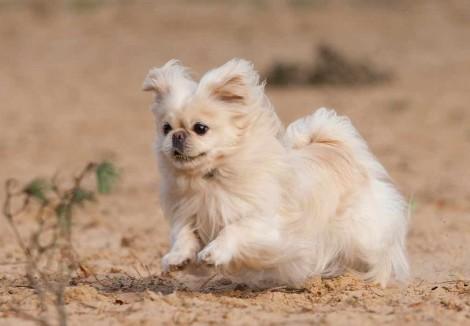 Adult Pekingese Dog