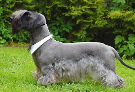 Cesky-Terrier.jpg
