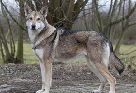 Saarloos-Wolfdog.jpg