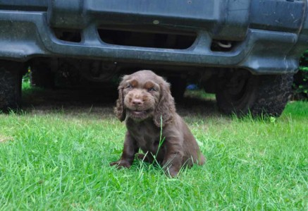 Sussex Spaniel Puppy