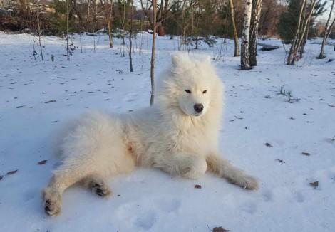 Samoyed Adult Dog