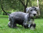 Cesky Terrier Puppy