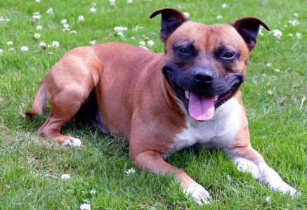 Young Staffordshire Bull Terrier