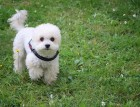 White Miniature Poodle