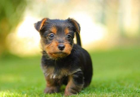 Australian Terrier Puppy