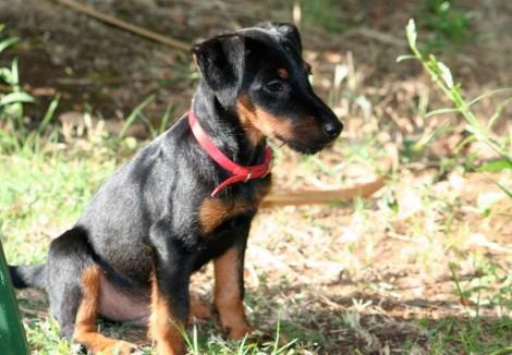Jagdterrier Puppy