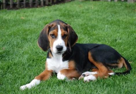 Hamiltonstovare Puppy