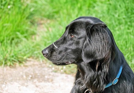 Flat Coated Retrievers Face