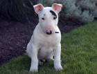 English Bull Terrier Puppy