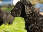 Curly Coated Retriever Puppy