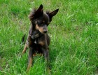 Young Russian Toy Terrier