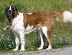 Adult Saint Bernard