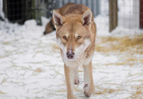 Ginger Saarloos Wolfdog