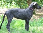 Young Deerhound