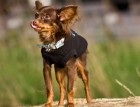 Adult Russian Toy Terrier