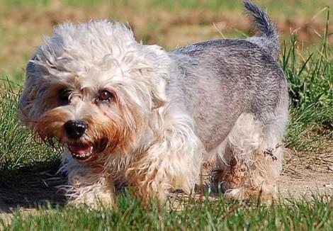 Senior Dandie Dinmont Terrier