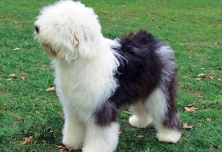 Old-English-Sheepdog.jpg