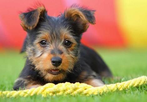 Young Australian Terrier