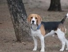 Black White Tan Beagle