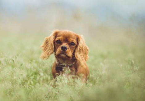 Cavalier King Charles Spaniels Face