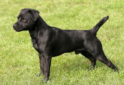 Patterdale-Terrier.jpg