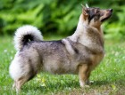 Adult Swedish Vallhund