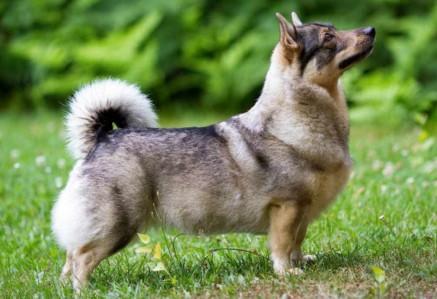 Adult Swedish Vallhund