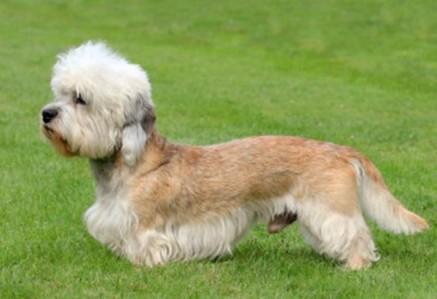 Dandie-Dinmont-Terrier.jpg