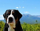 Greater Swiss Mountain Dogs Face
