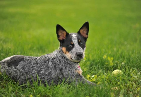 Young Australian Cattle Dog