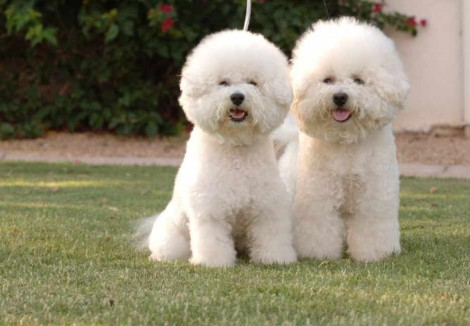Two Bichon Frise Dogs