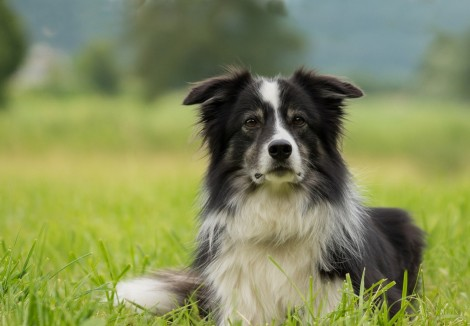 Young Border Collie