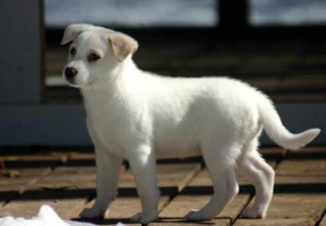 Canaan Dog Puppy