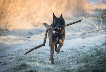 Belgian Shepherd Running