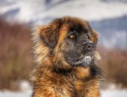 Leonbergers Face