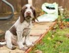 Italian Spinone Puppy