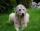 Senior Irish Wolfhound