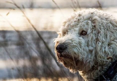 Goldendoodles Face